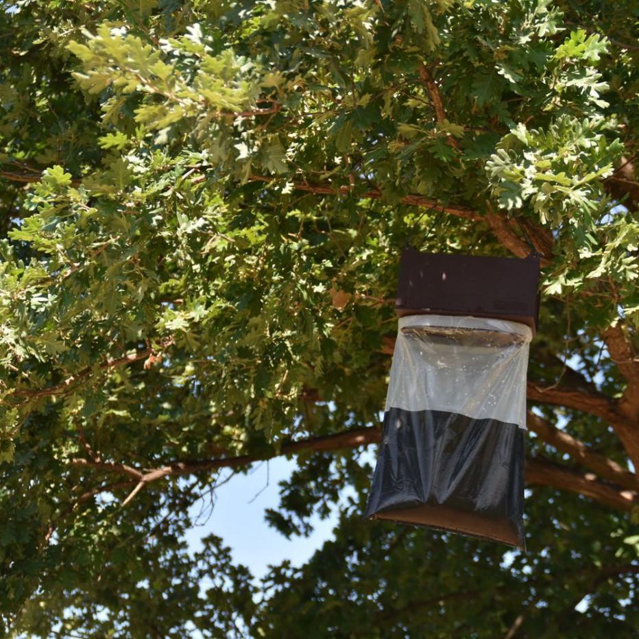 Piège à phéromone dans un chêne